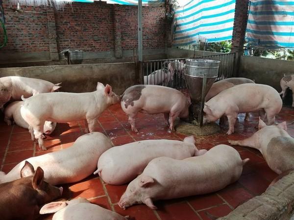 Giá heo (lợn) hơi hôm nay 7/2: Giá heo hơi miền Bắc hôm nay chững lại