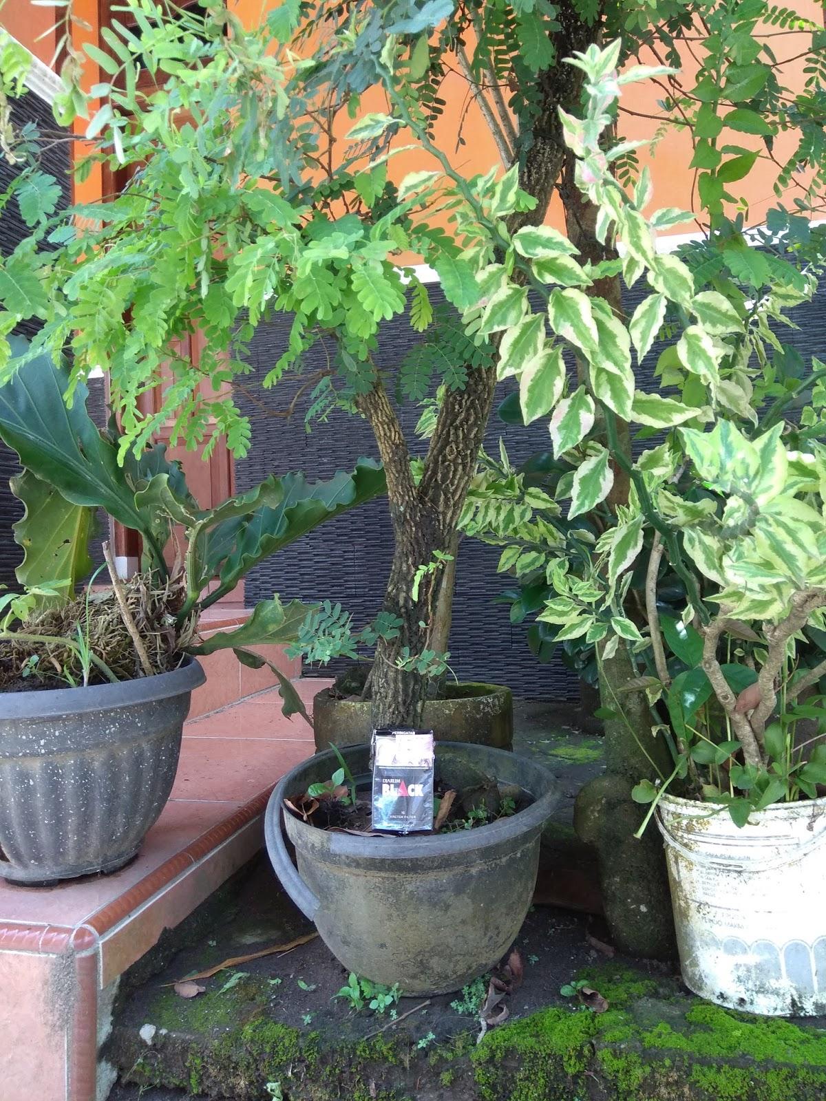 Bahan bonsai asam Jawa