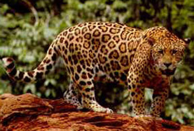 Jaguars In North America