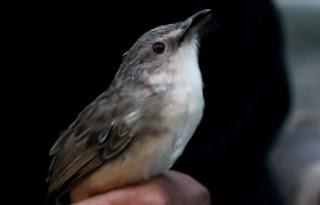 Informasi Ciri-ciri dan Gambar Ciblek / Prenjak Gunung, Mengenal Lebih Dekat Burung Ciblek / Prenjak Gunung, Semua Macam Jenis Burung Ciblek Lengkap dengan Gambar