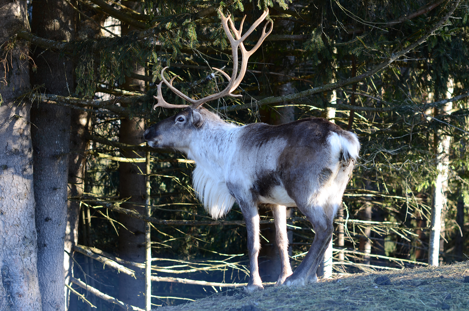 Elevage de rennes Domaine du Coulairon