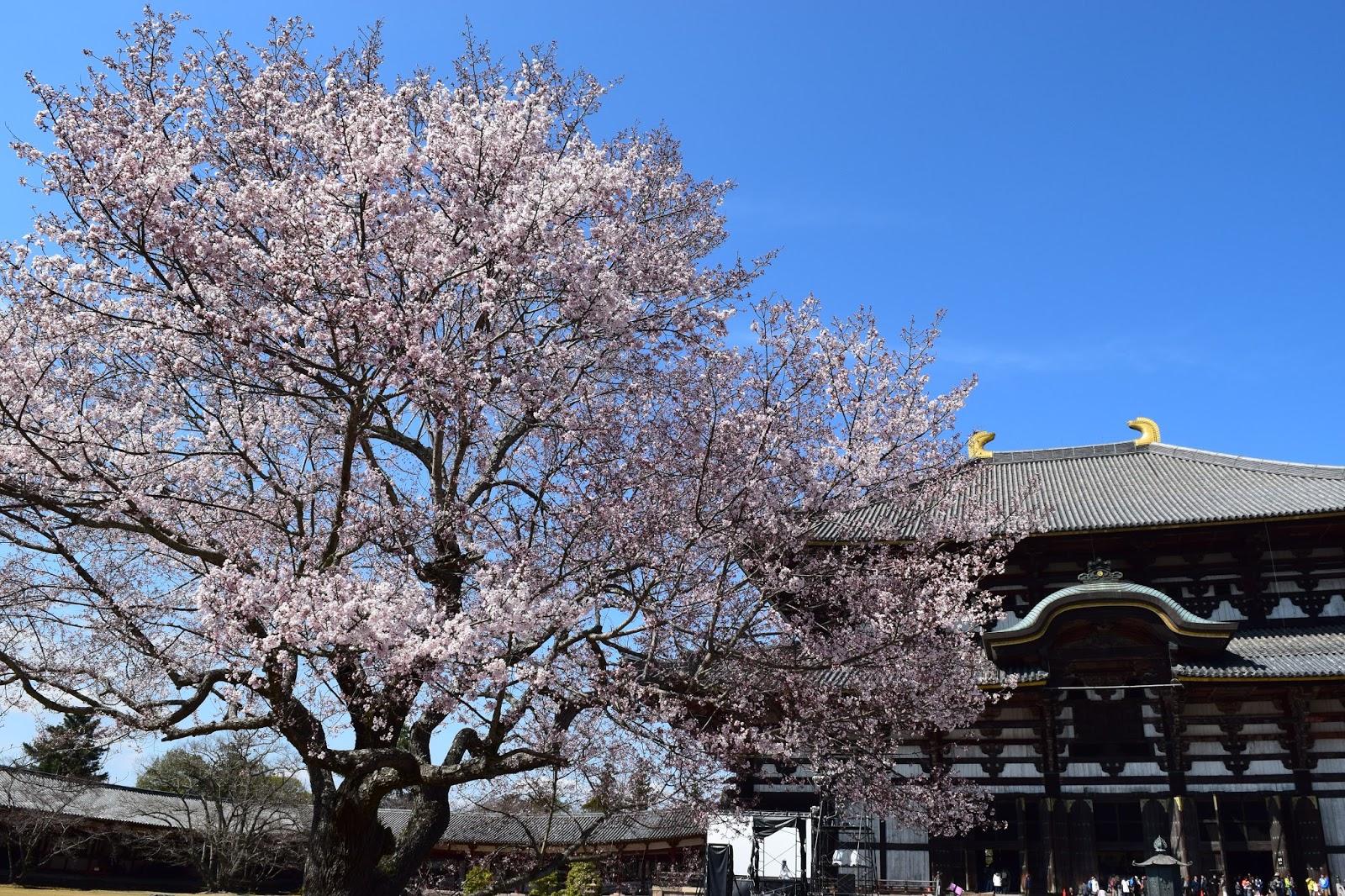 Todaiji Sakura