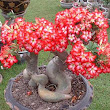 Adenium Desert rose Bonsai | How to Plant a tree