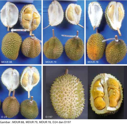 durian mardi kuala kangsar