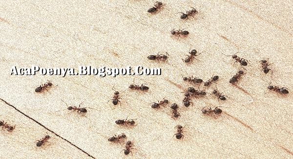 Cara Mengusir Semut