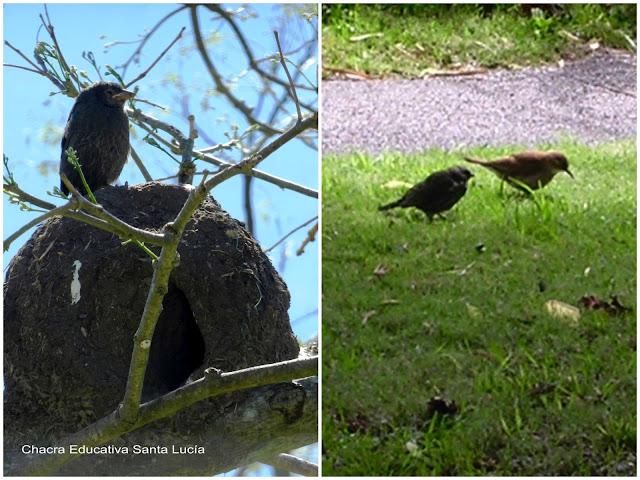 Pichón de tordo en un nido de hornero / Hornero y pichón de tordo - Chacra Educativa Santa Lucía