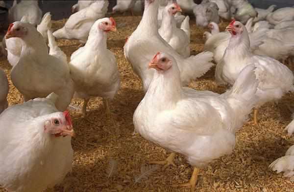 Ayam Broiler