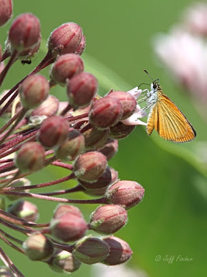 Least Skipper on Milkweed Flower