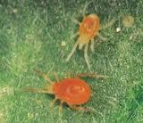 Araña Roja (Tetranychus telarius)