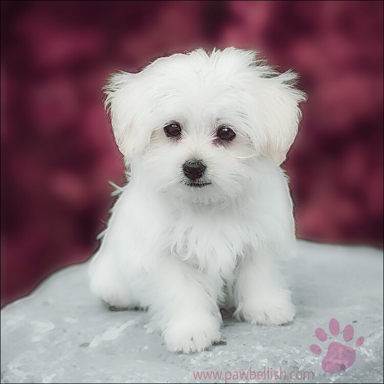 White Maltese puppy sitting for his portrait