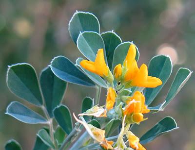 Flores amarillas de Medicago arborea