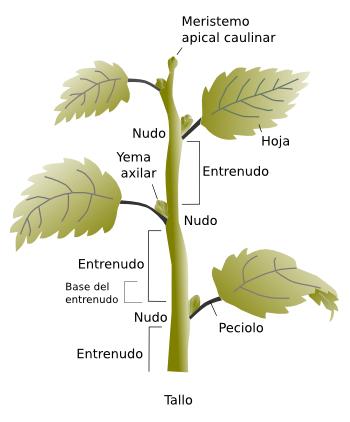 el tallo parte de la planta