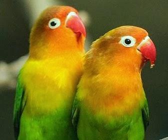 7 Ciri Ciri Burung Lovebird Berkualitas