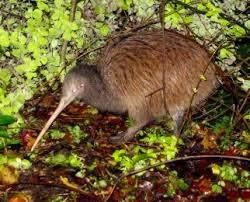 Kiwi pulau utara