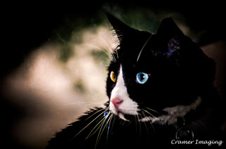 Cramer Imaging's professional quality pet portrait of a tuxedo colored cat with different colored eyes staring intently left in Pocatello, Bannock, Idaho