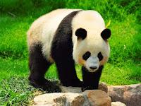 5 Perbedaan antara Panda dan Beruang
