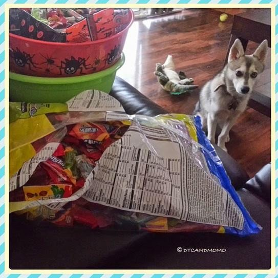Momo the Alaskan Klee Kai wants treats too!