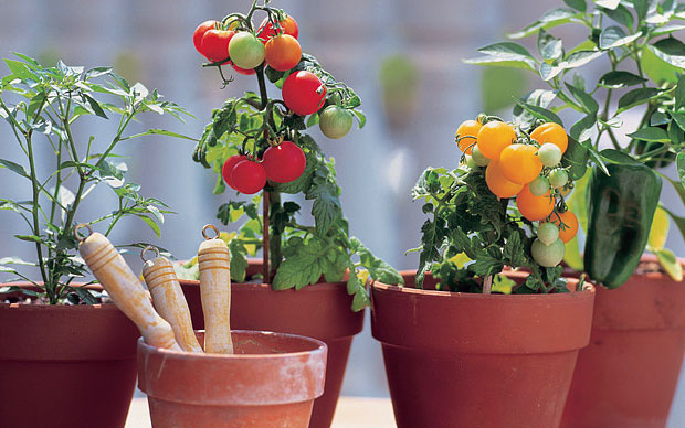 tanaman hidroponik tomat
