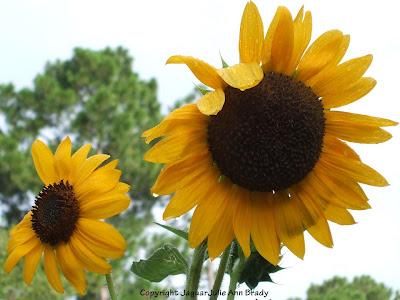 A Pretty Duet of Yellow Sunflower Blossoms