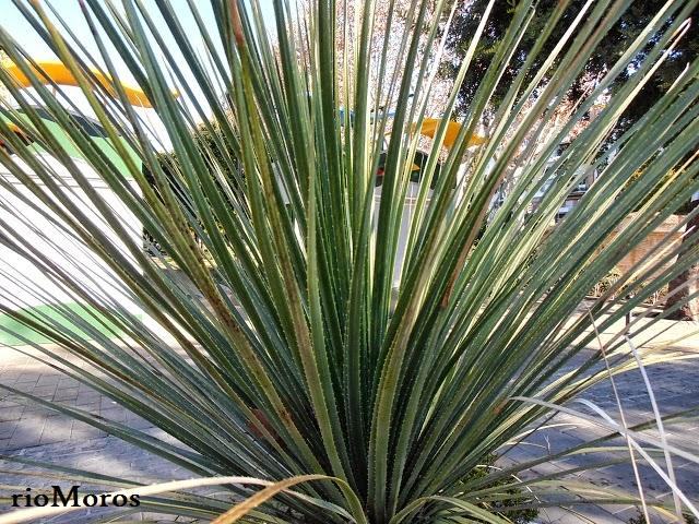 DASILIRION: Dasylirion serratifolium