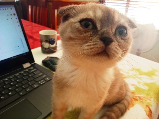 Luna the Scottish Fold kitten - helping with my blogging. #scottishfold #kitten