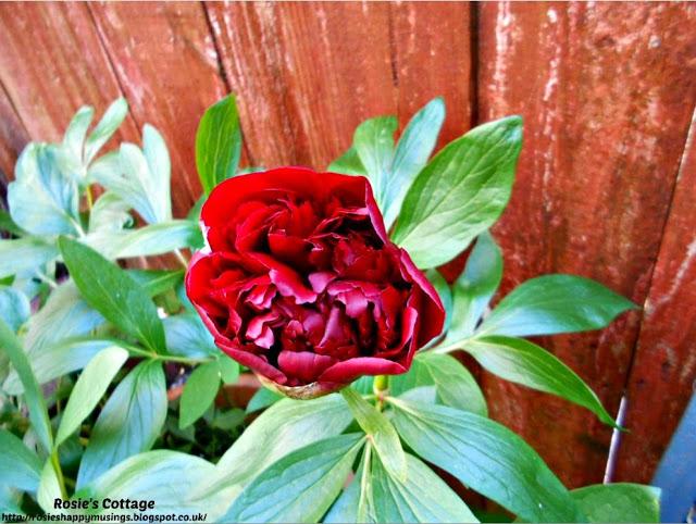 Crimson peony in bloom.