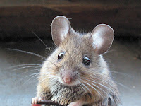 Tikus dan Bahayanya