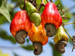 cashew apple fruit images