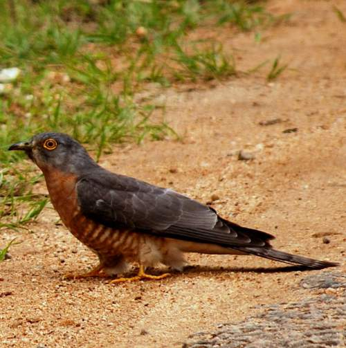 Indian birds - Common hawk-cuckoo - Hierococcyx varius