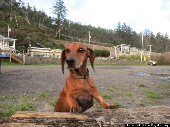 Chú chó béo phì, chân không chạm đất vì bụng quá lớn