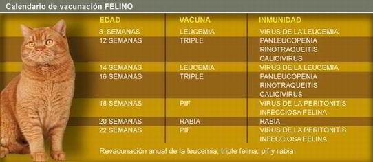 vacunas-enfermedades-de-los-gatos