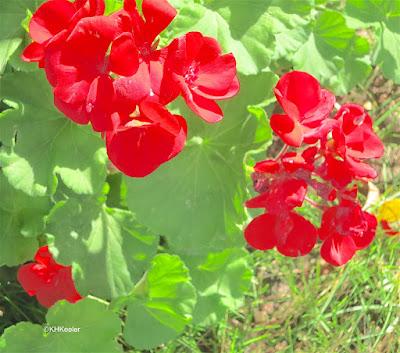 geranium, genus Pelargonium