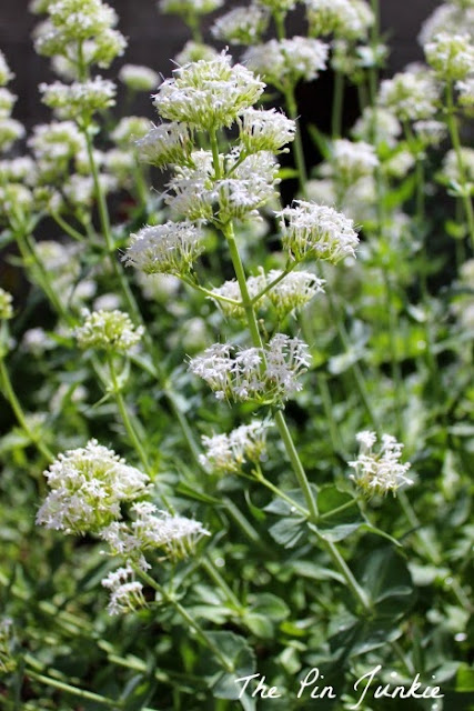 white valerian jupiters beard