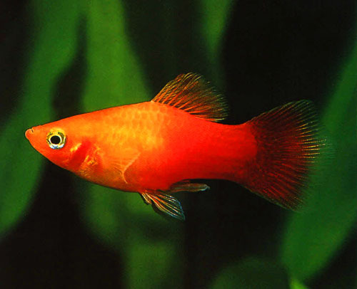 Fish that eat algae in freshwater tank platy fish for Freshwater fish to eat