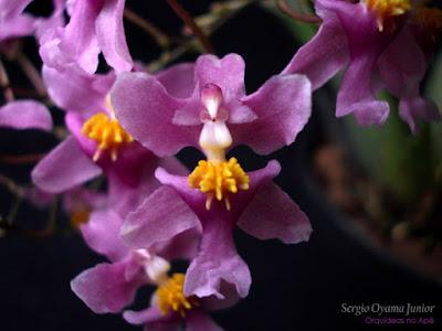 Orquídea Ondicium ornithorhynchum