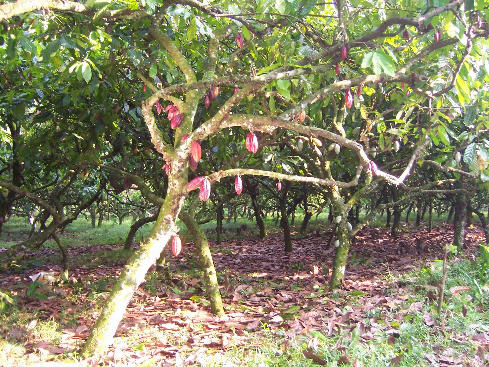kakao, tanaman perkebunan, buah kakao, budidaya kakao