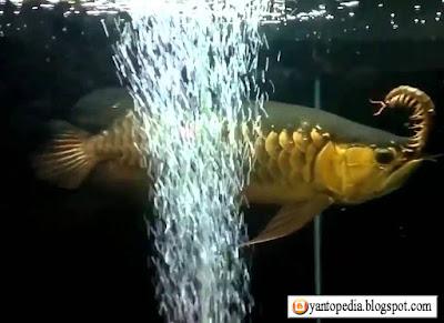 Makanan Ikan Arwana Yang Bagus Untuk Sisik Dan Pertumbuhannya