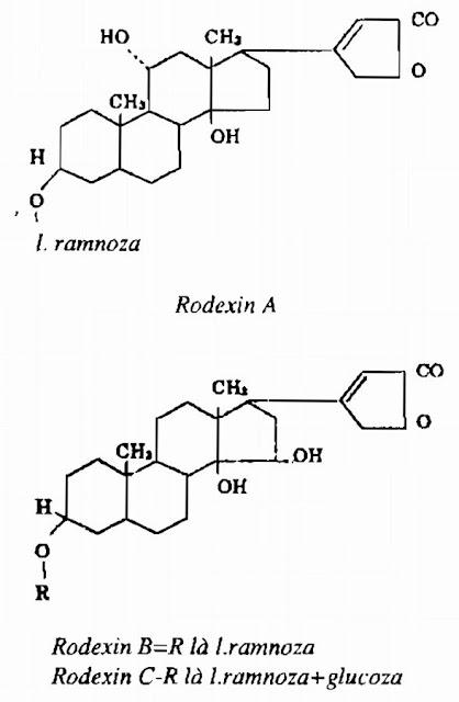 Thành phần hóa học Vạn Niên Thanh - Rhodea japonica - Nguyên liệu làm thuốc Chữa bệnh Tim