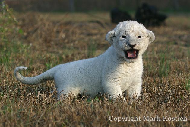 Cute White Lion Cubs