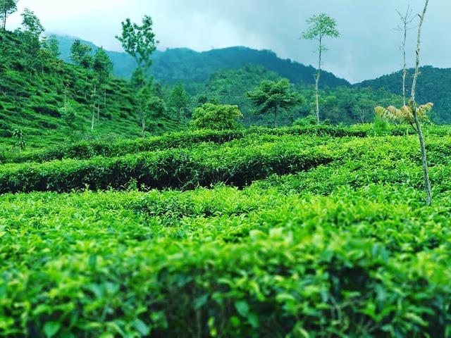 kebun teh medini