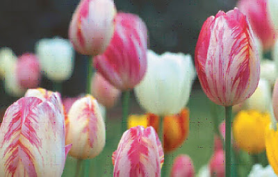 tulip, flower, garden, beautiful