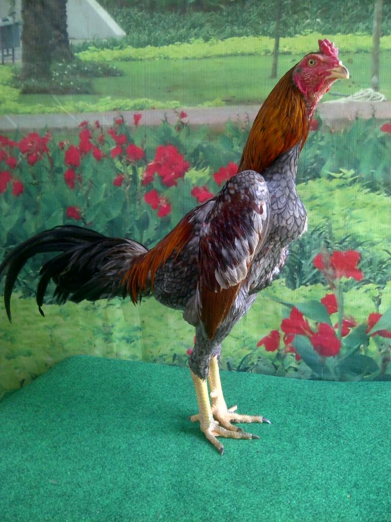 Macam macam Warna Bulu Ayam Aduan Jawara   JUAL AYAM