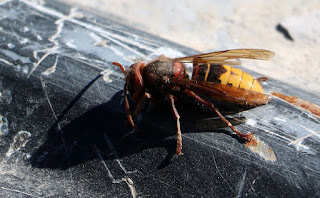This hornet took refuge in the truck bed of Thomas