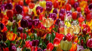 El Romanticismo sugiere y las flores hablan. Keukenhof 2018