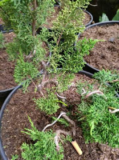 jual-bonsai-cemara-sargenti.jpg