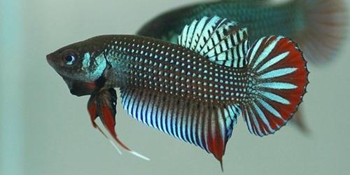 Ikan Laga Betta Imbellis || Cupang