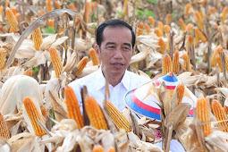 Joko Widodo Ungkap Suplai Jagung Lokal Semakin Meningkat