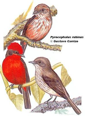 Churrinche Pyrocephalus rubinus