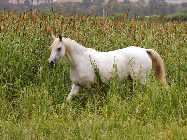 HD Animals Wallpapers: White Arabian Horse  HD Animals Wall...