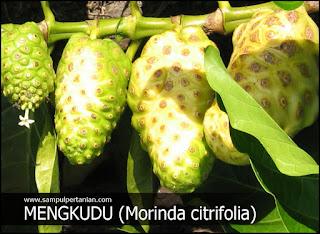 PESTISIDA NABATI dari bahan MENGKUDU (Morinda citrifolia)